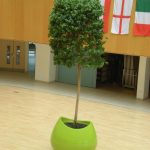 Blob Planter with Ficus Tree