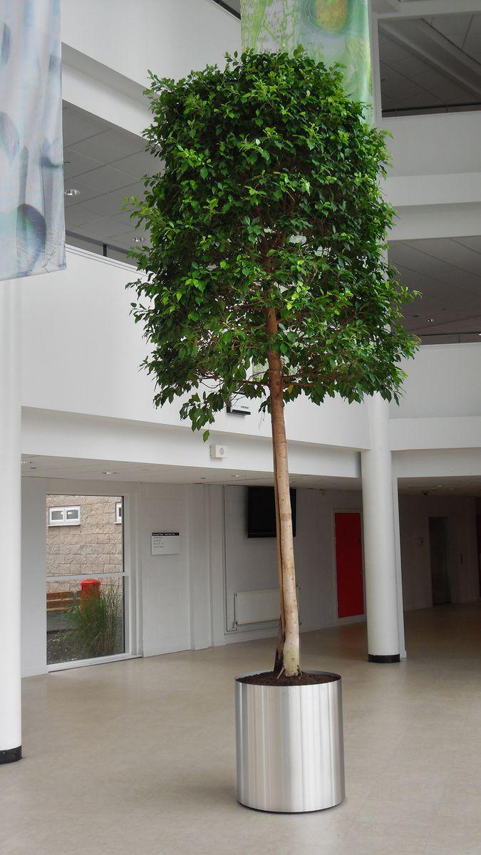Ficus tree 4.5m