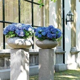 Hydrangea in Division Fiber planters