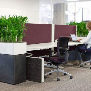 Prestige Desk trough Planter with Kentia palms Plants