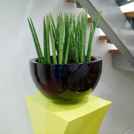 Sansevieria Mikado in Rome Bowl with Vancouver Pedestal