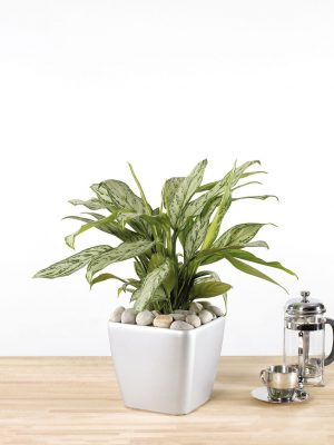 Aglaonema Silver Queen