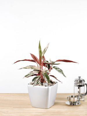 Calathea Multicolour