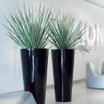 Dasylirion glaucophyllum in tall tapered round planter