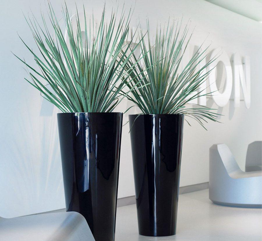 Dasylirion glaucophyllum in tall tapered round planter