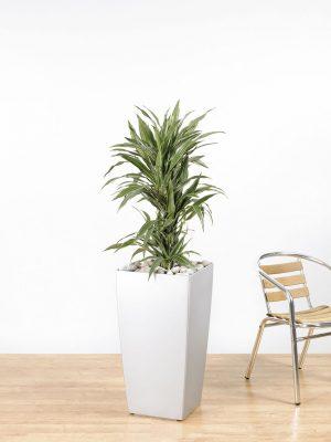 Dracaena fragrans Warneckii Branching