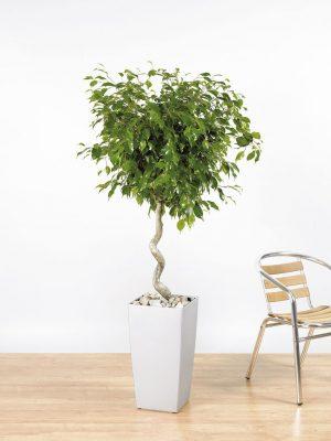 Ficus benjamina Exotica Spiral Stem