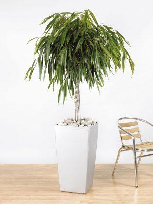 Ficus binnendijikii Alii Straight Stem