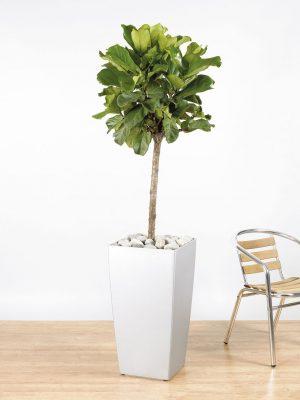 Ficus lyrata Straight Stem