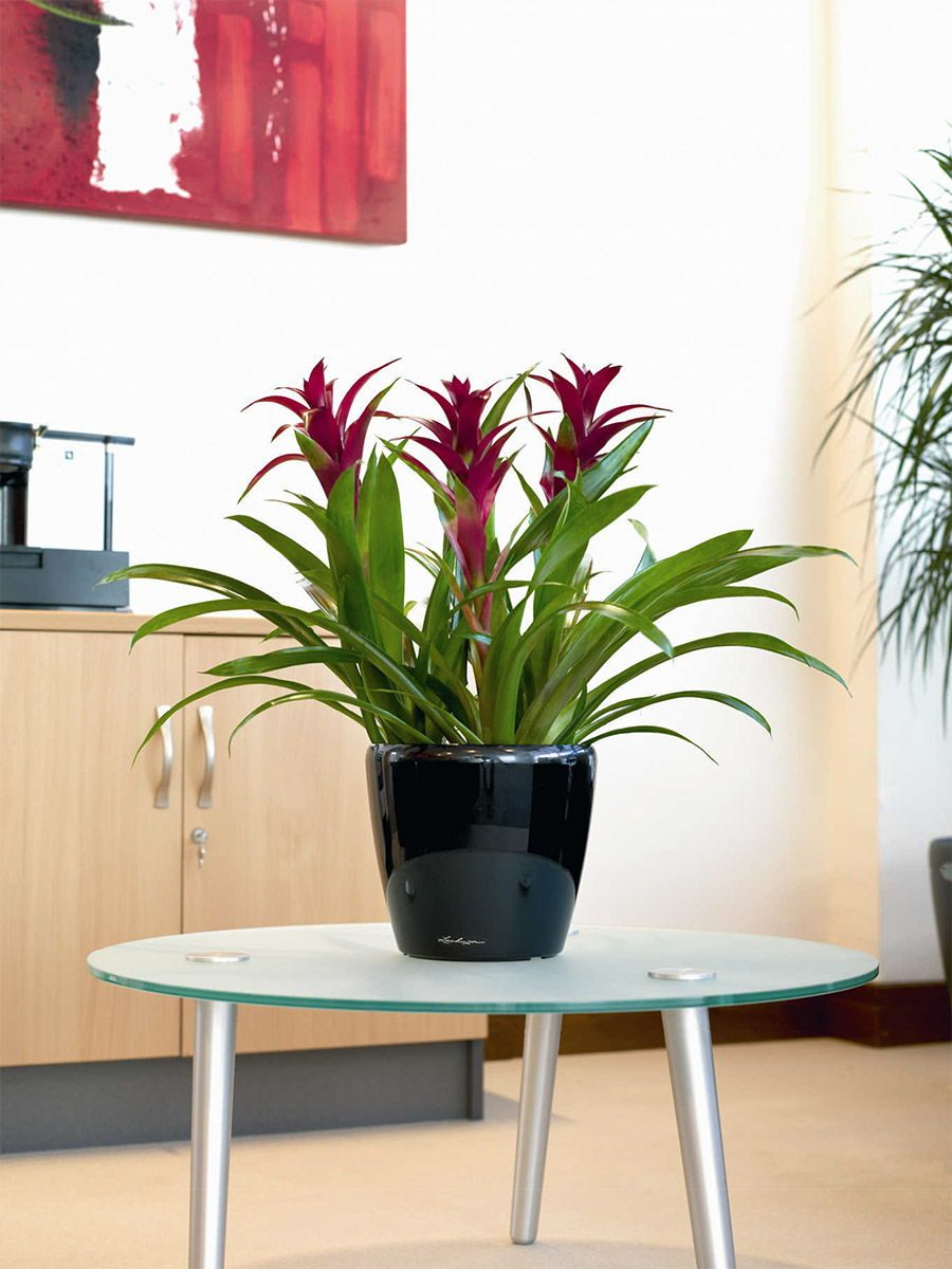 Guzmania counter top