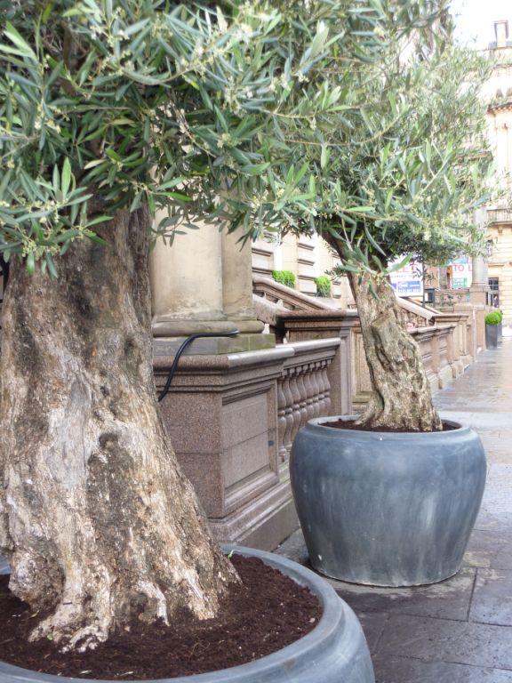 Olive trees in Ceramic Jar