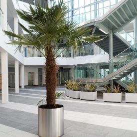 Washingtoneia Palm in Steel planter