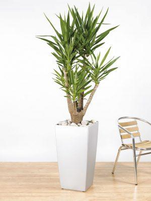 Yucca Branching
