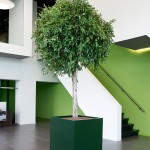 Cube planter with Varigated Ficus tree