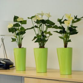 Anthurium Delta 21 Lime