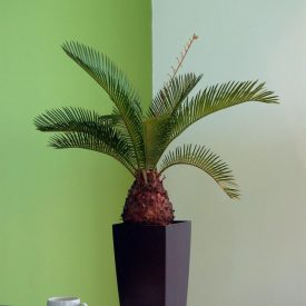 Cycas Palm Black Maxi