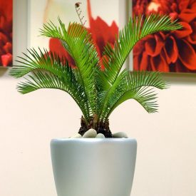 Cycas Palm CR21 Silver