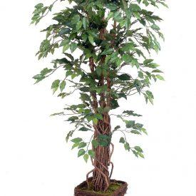 Ficus Lianna