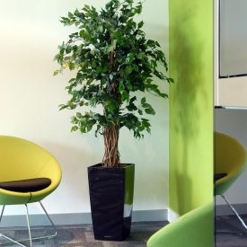 Green Ficus LE30 Black