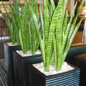 Green Sansevieria in black ridgy containers