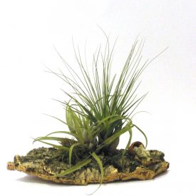 Large Air Plant on natural cork setting