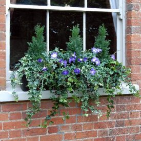 Morning Glory Window Box PT2 1