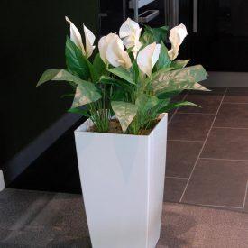 Peace Lily x4 LE30 White