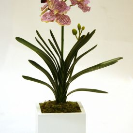Purple Vein Orchid in white cube