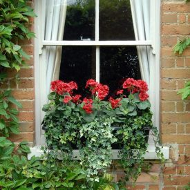 Red Geranium Window Box PT1