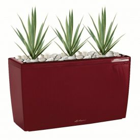 Scarlet Cararo Yucca in scarlet trough