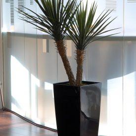 Yucca Rostrata LE30 Black