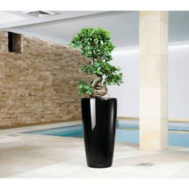 Rondo Ficus Bonsai