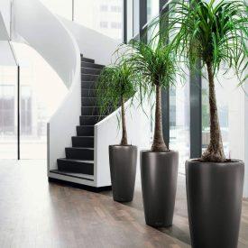 Rondo Nolina Recurvata Plant